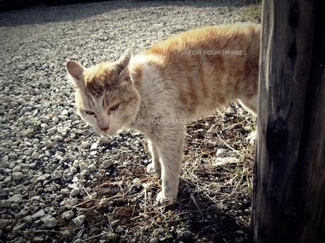 野良猫の素材 [FYI00333654]