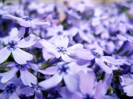 花畑の素材 [FYI00333668]