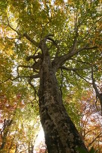ブナの木立の写真素材 [FYI00333806]