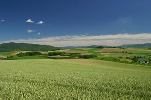 初夏の小麦畑の写真素材 [FYI00333812]