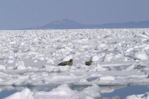 流氷とアザラシの素材 [FYI00333822]