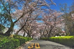 尾根緑道の桜咲くの写真素材 [FYI00333855]