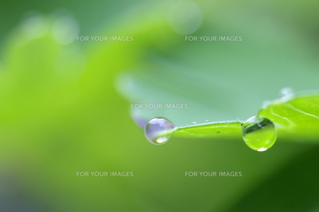 緑の滴の素材 [FYI00333899]