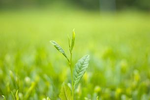 茶畑の写真素材 [FYI00333981]