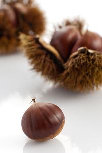 茶色の栗とイガグリの写真素材 [FYI00333984]
