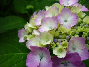 夏の紫陽花の写真素材 [FYI00334712]