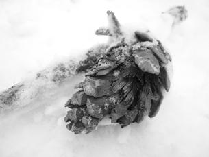 松の実の写真素材 [FYI00334735]
