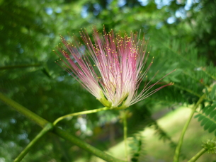 合歓の花の写真素材 [FYI00334754]