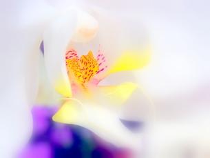 胡蝶蘭の写真素材 [FYI00334787]