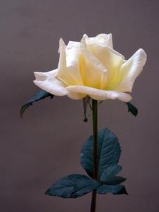 バラ:セツコの写真素材 [FYI00334851]