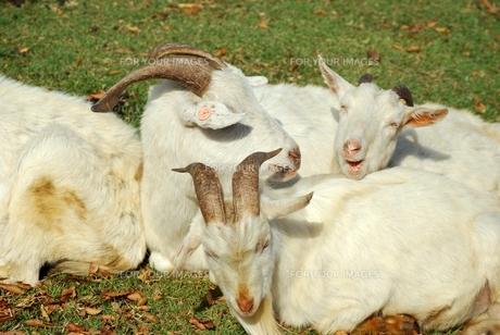 三匹の山羊の写真素材 [FYI00334948]