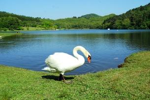志高湖と白鳥の写真素材 [FYI00334950]