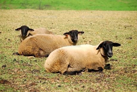 三匹の羊の写真素材 [FYI00334959]