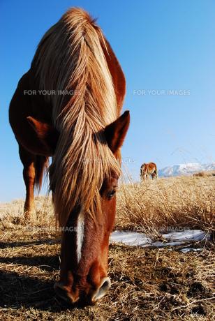 阿蘇の馬(冬)の写真素材 [FYI00334966]