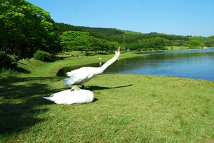 志高湖と白鳥の写真素材 [FYI00334982]