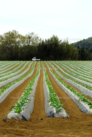 タバコ畑の写真素材 [FYI00335051]
