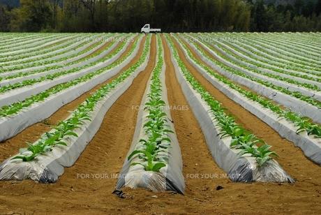 タバコ畑の写真素材 [FYI00335052]