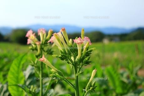 タバコの花の写真素材 [FYI00335099]