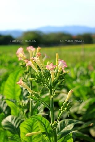タバコの花の写真素材 [FYI00335129]