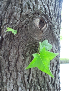 木から芽生えた葉の写真素材 [FYI00335179]