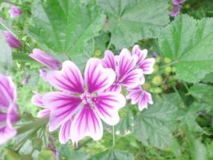 連鎖する花の写真素材 [FYI00335188]