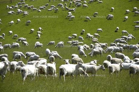 羊の写真素材 [FYI00335372]