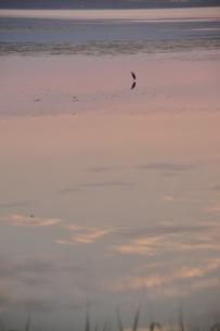 夕暮れの湖にたたずむサギ3の素材 [FYI00335418]
