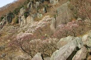 梅祭りの頃の写真素材 [FYI00335471]