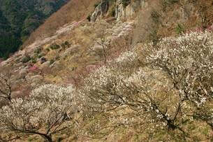 梅祭りの頃の写真素材 [FYI00335487]