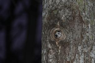 エゾモモンガ巣穴から顔出す4の写真素材 [FYI00335523]