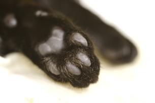 子猫の肉球の写真素材 [FYI00335548]