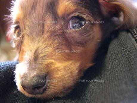 ミニチュアダックスフント子犬の写真素材 [FYI00335563]