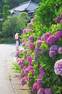 紫色のあじさいの写真素材 [FYI00335689]