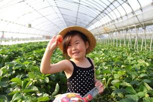 苺狩りをする女の子の写真素材 [FYI00335714]