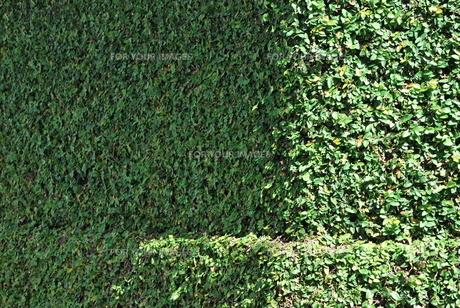 緑で覆われた塀の素材 [FYI00335868]