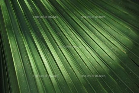 日の当たるヤシの葉の素材 [FYI00335873]