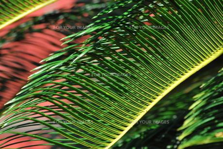 首里城 ヤシの葉の素材 [FYI00335898]