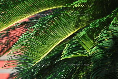 首里城のヤシの葉の素材 [FYI00335916]