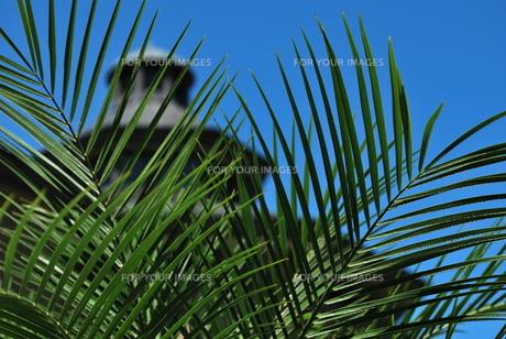 トックリヤシの葉の素材 [FYI00335935]