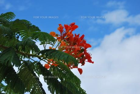 ホウオウボクの赤い花の素材 [FYI00335955]
