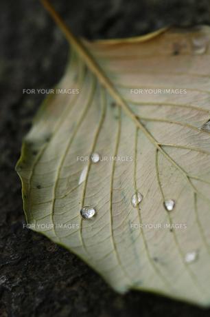 落ち葉と水滴の写真素材 [FYI00336108]