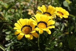Yellow Flowerの写真素材 [FYI00336114]
