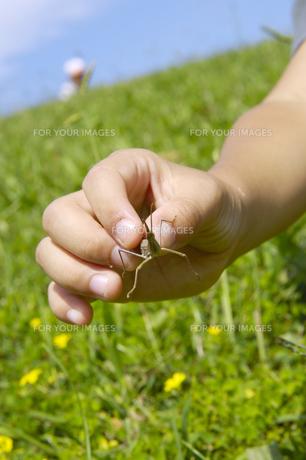 バッタを持つ子供の手の写真素材 [FYI00336174]