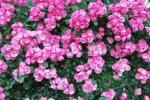 ドイツのバラ アンジェラの写真素材 [FYI00336238]