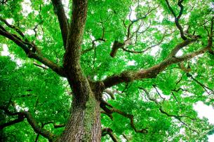 クスノキ大木の素材 [FYI00336326]