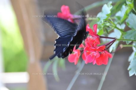 カラスアゲハ蝶の写真素材 [FYI00336378]