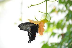 クロアゲハ蝶の写真素材 [FYI00336384]