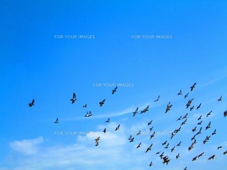 青空と鳥の群の素材 [FYI00336525]