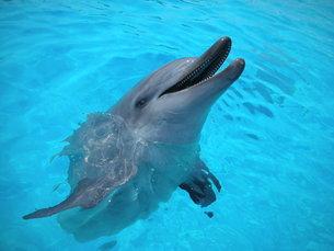 水族館の水槽から顔を出した一匹のイルカの写真素材 [FYI00336553]
