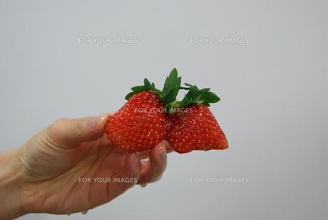 濡れた手で持った双子のような瑞々しいイチゴの写真素材 [FYI00336572]